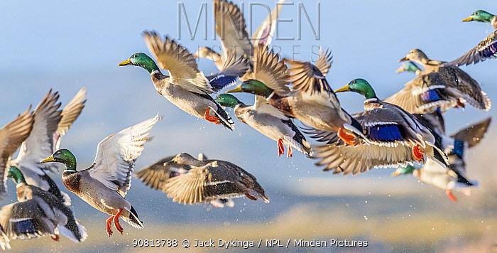 Flocks of Mallard ducks (Anas platyrhynchos) taking off in tree-lined wetlands. Bosque del Apache National Wildlife Refuge, New Mexico, USA.