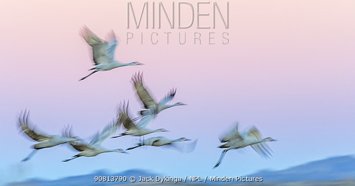 Sandhill cranes (Antigone canadensis) in flight in late evening light, Bosque Del Apache, New Mexico, USA. December