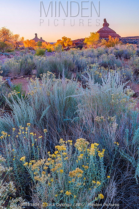 Morning light with autumn colored Cottonwoods (Populus) trees lining the riverside with Sagebrush (Artemisia) and Rabbitbrush in the foreground. Valley of the Gods, Colorado Plateau, Great Basin Desert.,Utah, USA. November.