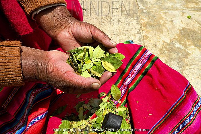 Aymara woman with coca leaves (Erythroxylum coca) in hand, Lake Titicaca, Bolivia.