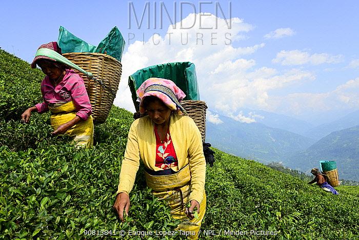 Women picking Tea (Camelia sinensis) leaves by hand in organic tea fields, Temi Tea Garden, Sikkim, India, October 2018.