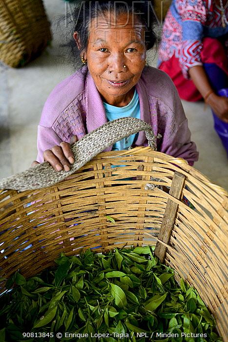 Women with hand picked tea leaves from organic Tea (Camelia sinensis) fields, Temi Tea Garden, Sikkim, India, October 2018.