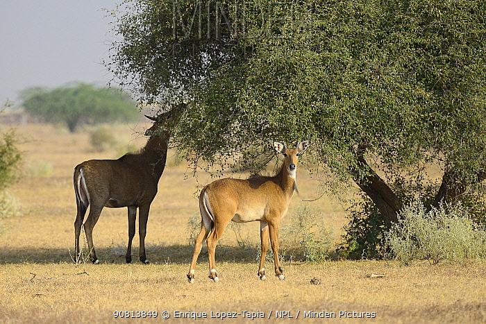 Nilgai antelope (Boselaphus tragocamelus) grazing, Rajasthan, India.