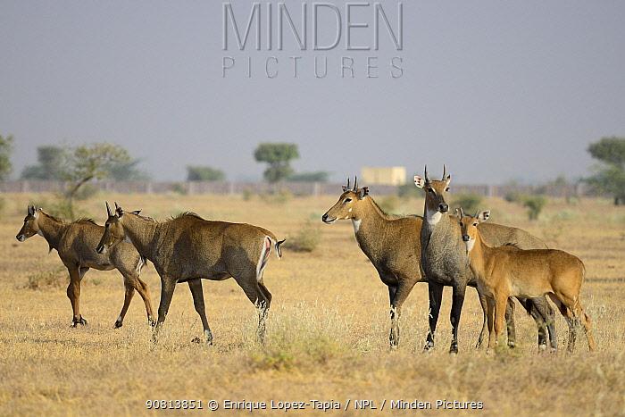 Nilgai antelope (Boselaphus tragocamelus) group, Rajasthan, India.