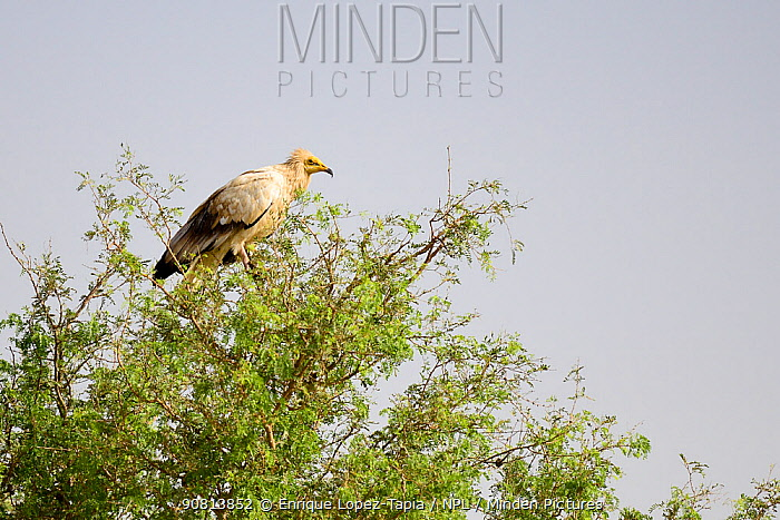 Egyptian vulture (Neophron percnopterus). Rajasthan, India.