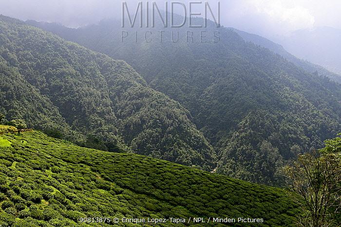 Tea fields in the Darjeeling mountains, West Bengal, India. October.