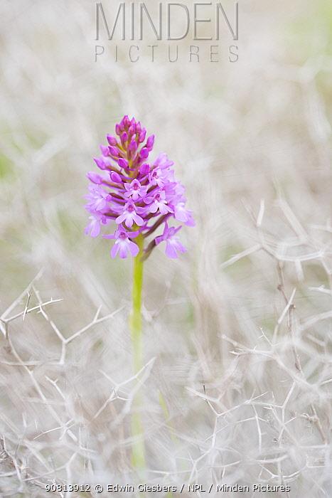 Pyramidal orchid (Anacamptis pyramidalis) flowerhead amongst thorns. Cyprus. April.