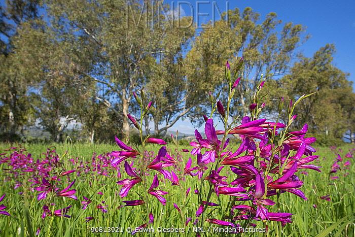 Field gladiolus (Gladiolus italicus) flowering in meadow, trees in background. Cyprus. April.