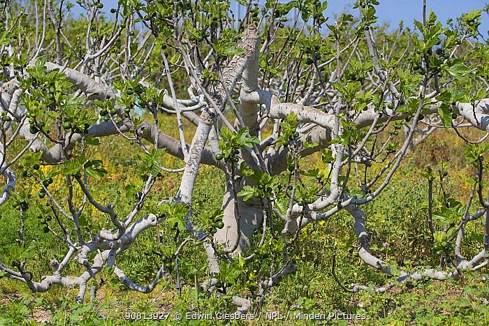 Fig tree (Ficus carica)
