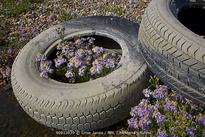 Sea asters (Aster tripolium) in discarded car tyres, Norfolk, England, UK. September.