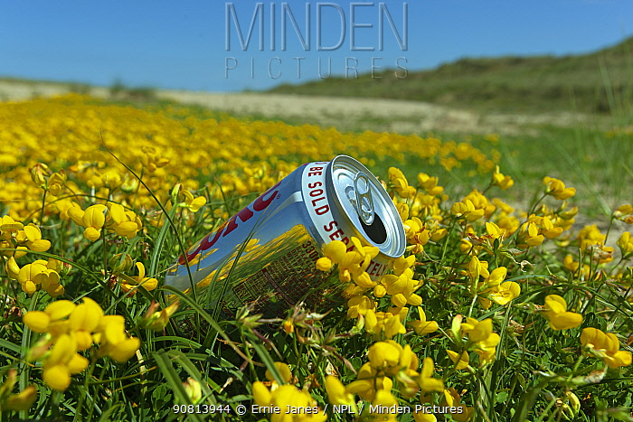 Discarded drinks can in clump of Birds foot Trefoil (Lotus corniculatus) on Holkham dunes, Norfolk