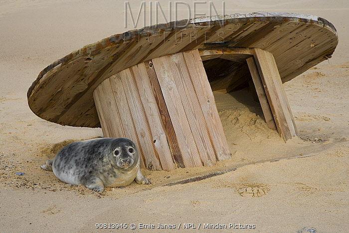 Grey Seal (Halichoerus grypus) pups with discarded cable reel on Horsey beach, Norfolk, England, UK, January.