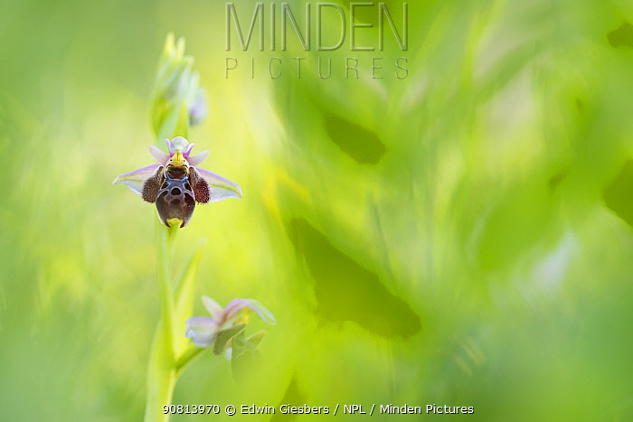 Umbilicate woodcock orchid (Ophrys umbilicata), Cyprus. April.