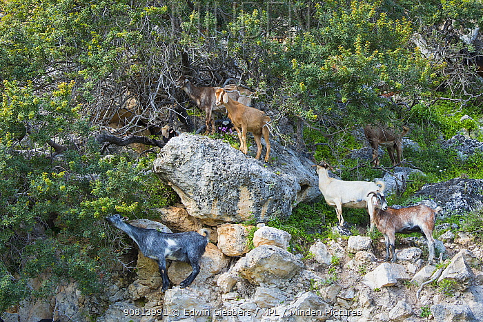 Goat (Capra hircus) herd browsing trees, standing amongst rocks. Cyprus. April.