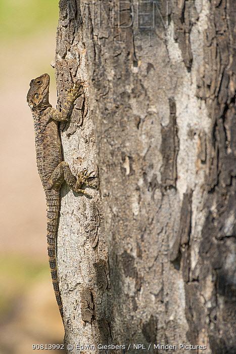 Starred agama (Stellagama stellio cypriaca) on tree trunk. Cyprus. April.