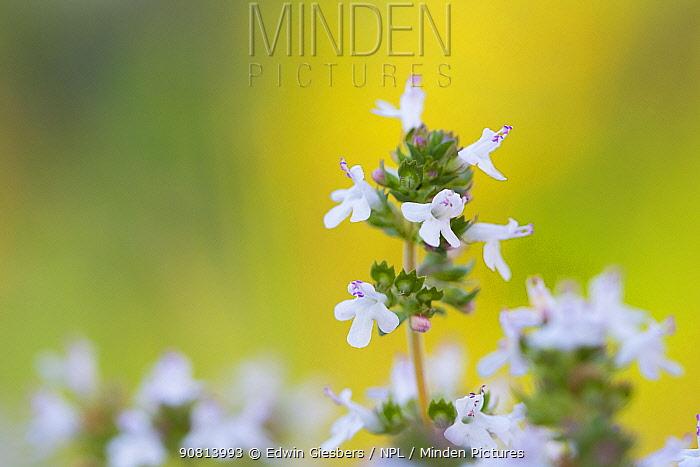 Wild marjoram (Origanum vulgare) flowering. Cyprus. April.