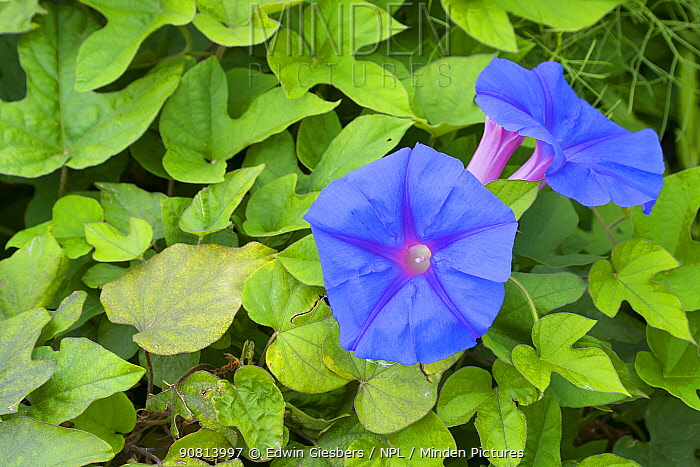Blue morning flower (Ipomoea indica) flowers and carpet of leaves. Cyprus. April.