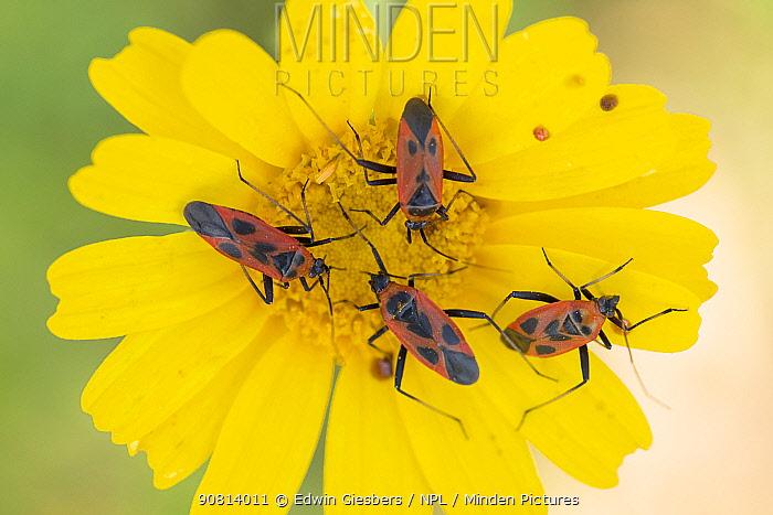 Capsid bug (Calocoris nemoralis), four feeding on Crown daisy (Glebionis coronaria) flower. Cyprus. April.