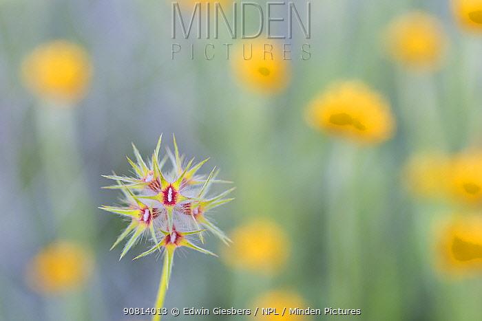 Star clover (Trifolium stellatum) flowering in meadow. Cyprus. April.