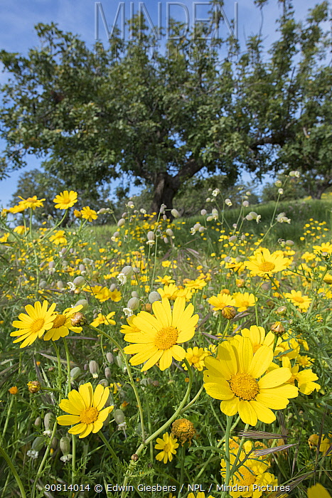 Crown daisy (Glebionis coronaria) flowers in meadow alongside Campion (Silene sp), trees in background. Cyprus. April.