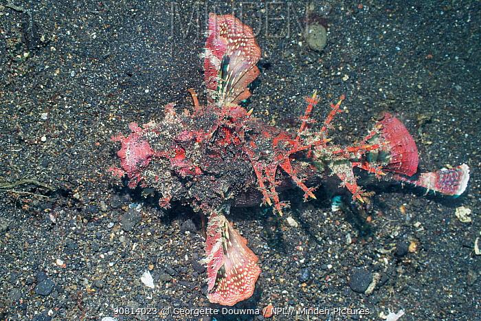 Devilfish / Stinger (Inimicus didactylus). Lembeh Strait, North Sulawesi, Indonesia.