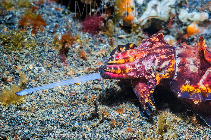 Pfeffer's flamboyant cuttlefish (Metasepia pfefferi) hunting, Lembeh Strait, North Sulawesi, Indonesia.