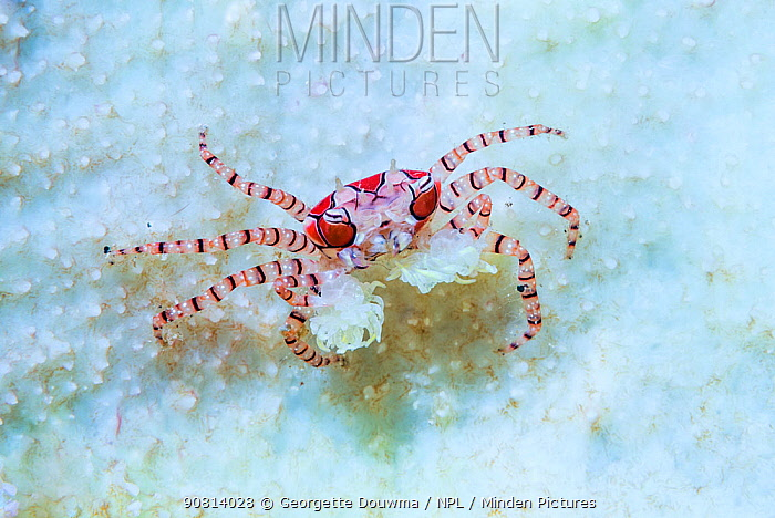 Boxer Crab (Lybia tessellata) with sea anemones in its claws for defense. Lembeh Strait, North Sulawesi, Indonesia.