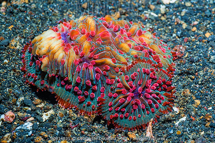 Unidentified mushroom coral, Lembeh Strait, North Sulawesi, Indonesia.