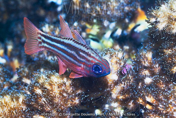 Blue-eyed cardinalfish (Apogon compressus). Lembeh Strait, North Sulawesi, Indonesia.