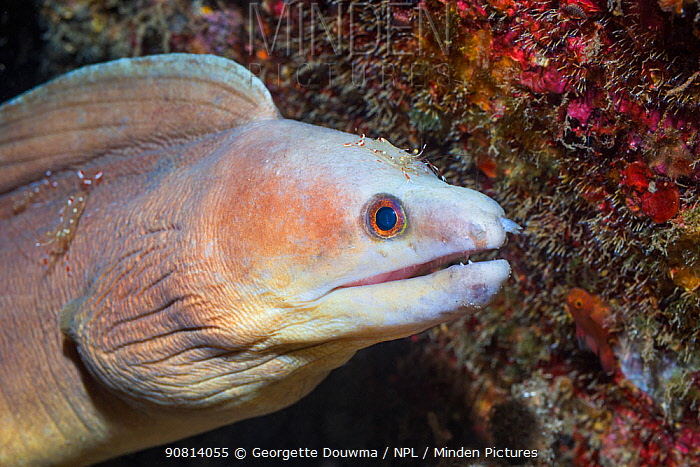 White-margined Moray Eel (Enchelycore schismatorhynchus) being cleaned by a Rock Shrimp (Urocaridella sp). Lenmbeh Strait, North Sulawesi, Indonesia.