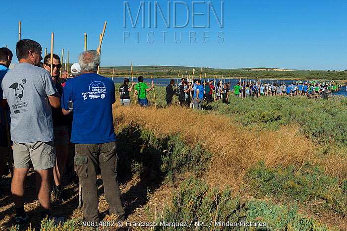 Volunteers standing in a line, waiting to ring Greater flamingo (Phoenicopterus ruber) juveniles, Fuente de Piedra lagoon, Malaga, Spain. August.