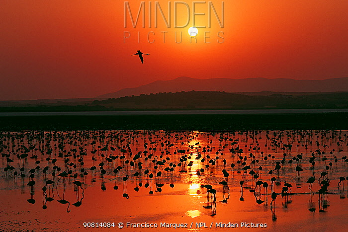 Greater flamingo (Phoenicopterus ruber) flock silhouetted in wetland, Fuente de Piedra lagoon, Malaga, Spain. August.