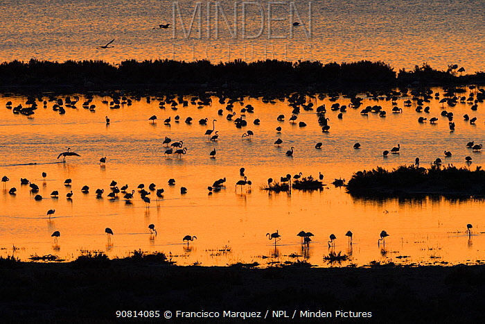Greater flamingo (Phoenicopterus ruber) flock silhouetted in wetland, Fuente de Piedra lagoon, Malaga, Spain. August.