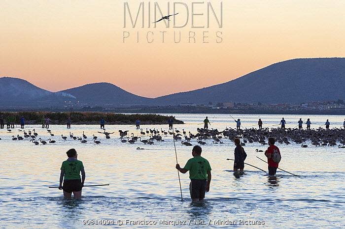 Volunteers rounding up Greater flamingo (Phoenicopterus ruber) juveniles for ringing, Fuente de Piedra lagoon, Malaga, Spain. August.