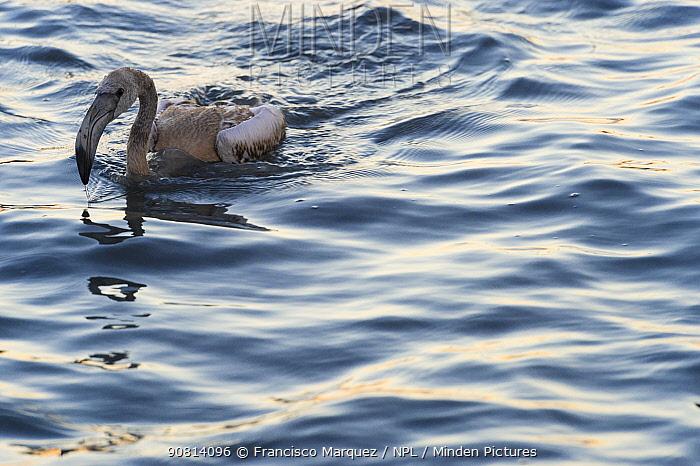 Greater flamingo (Phoenicopterus ruber) juvenile sitting in water, Fuente de Piedra lagoon, Malaga, Spain. August.