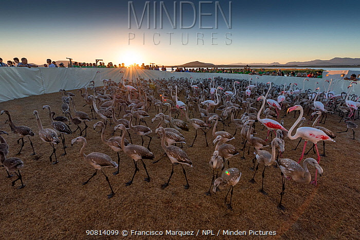 Greater flamingo (Phoenicopterus ruber) juveniles and a few adults kept temporarily in an enclosure for ringing, Fuente de Piedra lagoon, Malaga, Spain. August.