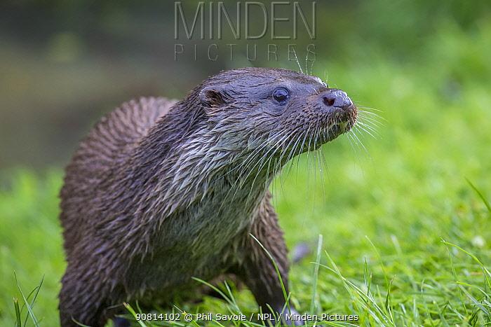 Eurasian otter (Lutra lutra) portrait, captive. . May