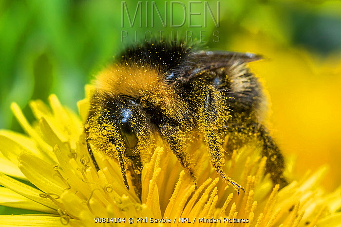 Buff tailed bumblebee (Bombus terrestris), feeding on Dandelion (Taraxacum offinicale) Monmouthshire, Wales, UK. May