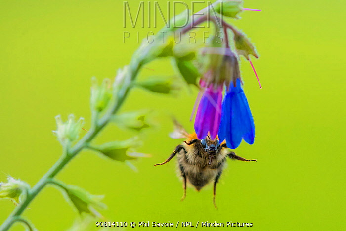 Common carder bumblebee (Bombus pascuorum), feeding on Comfrey (Symphytum officinale), Monmouthshire, Wales, UK. May