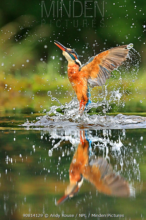 Kingfisher, (Alcedo atthis), diving for fish, UK