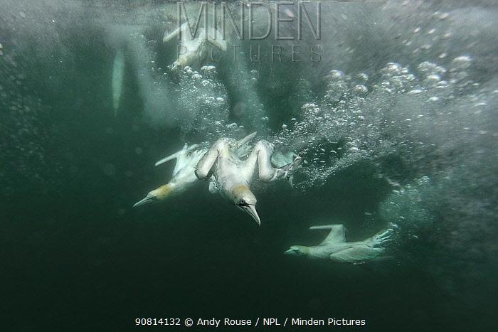 Gannet, (Sula bassana), underwater, Bass Rock, Yorkshire, UK