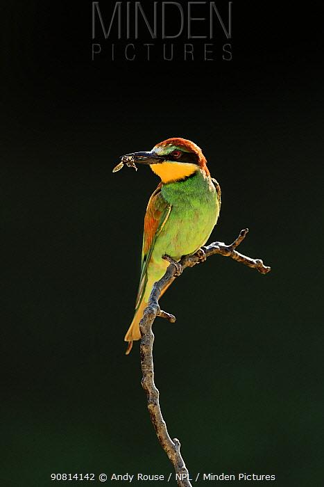 Eurasian bee-eater, (Merops apiaster), in colony, Bulgaria