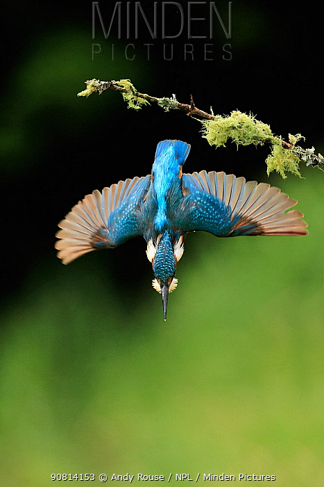 Kingfisher, (Alcedo atthis), diving for fish from branch, UK, Medium repro only