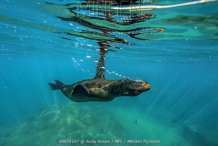 Galapagos sea lion, (Zalophus wollebaeki), swimming upside down, Galapagos