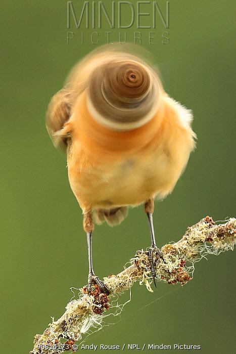 Stonechat, (Saxicola rubicola) male shaking head, blurred motion. UK