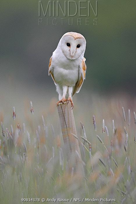 Barn Owl, (Tyto alba), hunting, UK
