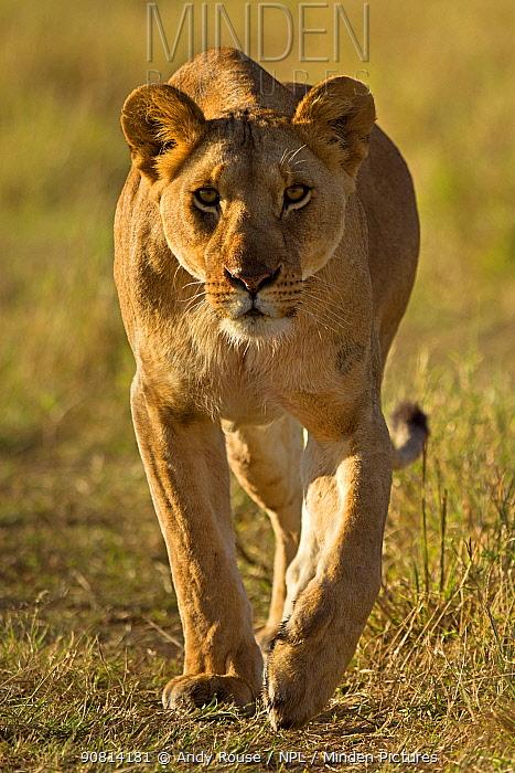 African Lion, (Panthera leo), female hunting, Masai Mara, Kenya, Africa,