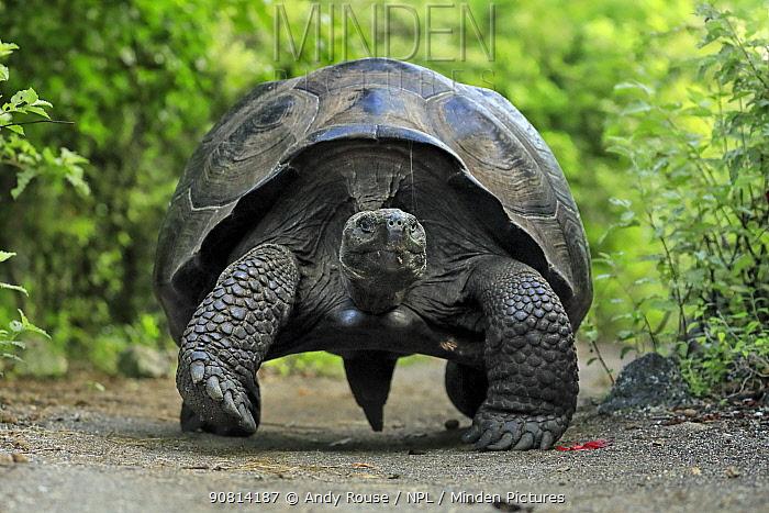 Alcedo volcano Galapagos giant tortoise (Chelonoidis vandenburghi) adult male on forest track, Urbina Bay, Isabela Island, Galapagos.