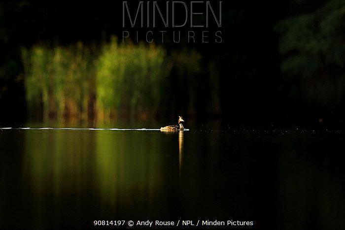 Great crested grebe, (Podiceps cristatus cristatus), on lake at sunrise, UK