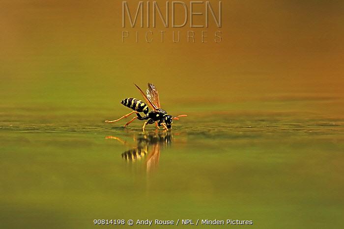 European Paper Wasp, (Polistes dominula), drinking, Bulgaria, June.